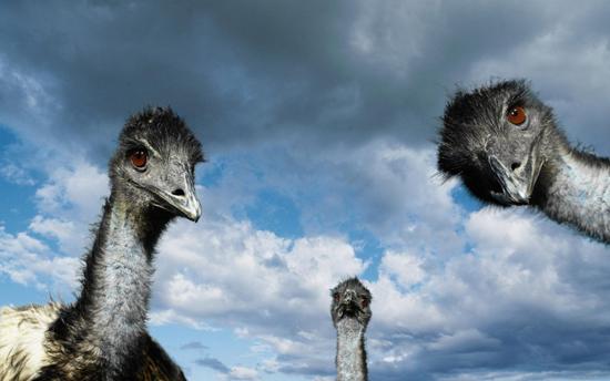 Три-страуса
