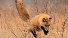 Об открытии сезона охоты на пушную дичь