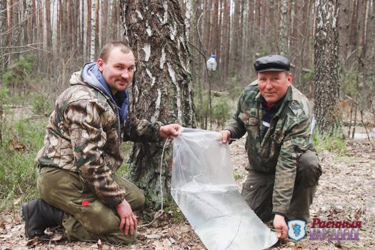 В Пружанском районе уже приступили к заготовке березового сока