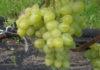 Саженцы винограда на любой вкус