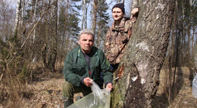 В Пружанском районе началась заготовка березового сока