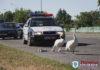 Сотрудники ГАИ перекрыли кольцо и помогли лебедям с лебедятами добраться к озеру