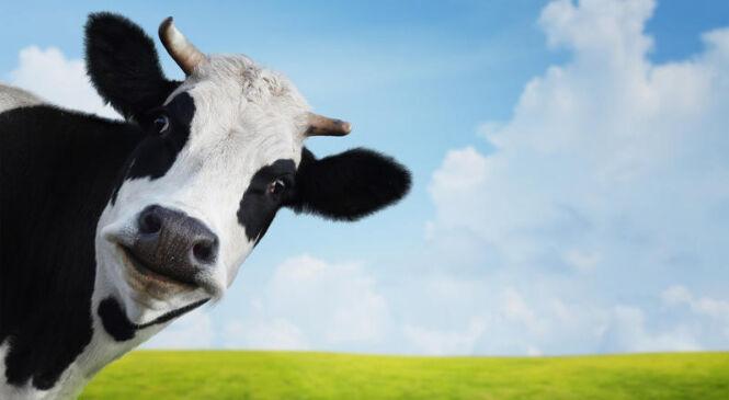 Пружанский район удерживает первое место по производству молока