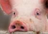 Найти разумный компромисс. В райисполкоме прошли общественные слушания по вопросу строительства свиноводческого комплекса возле Ружан