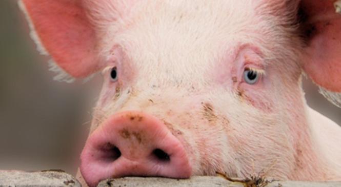 Для строительства свинокомплекса в Ружанской зоне выбрана другая площадка