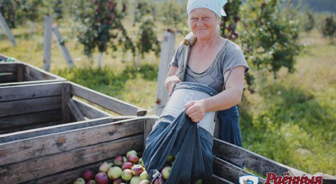 В ОАО «Отечество» планируют собрать 2000 тонн яблок