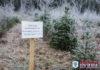 15 декабря Пружанский лесхоз приступит к активной заготовке зеленых красавиц