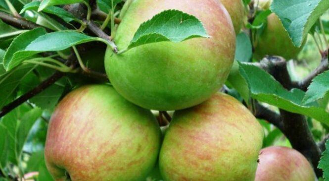 Расцвіталі яблыні і грушы. Тлумачым, якія гатункі падыходзяць для нашай мясцовасці